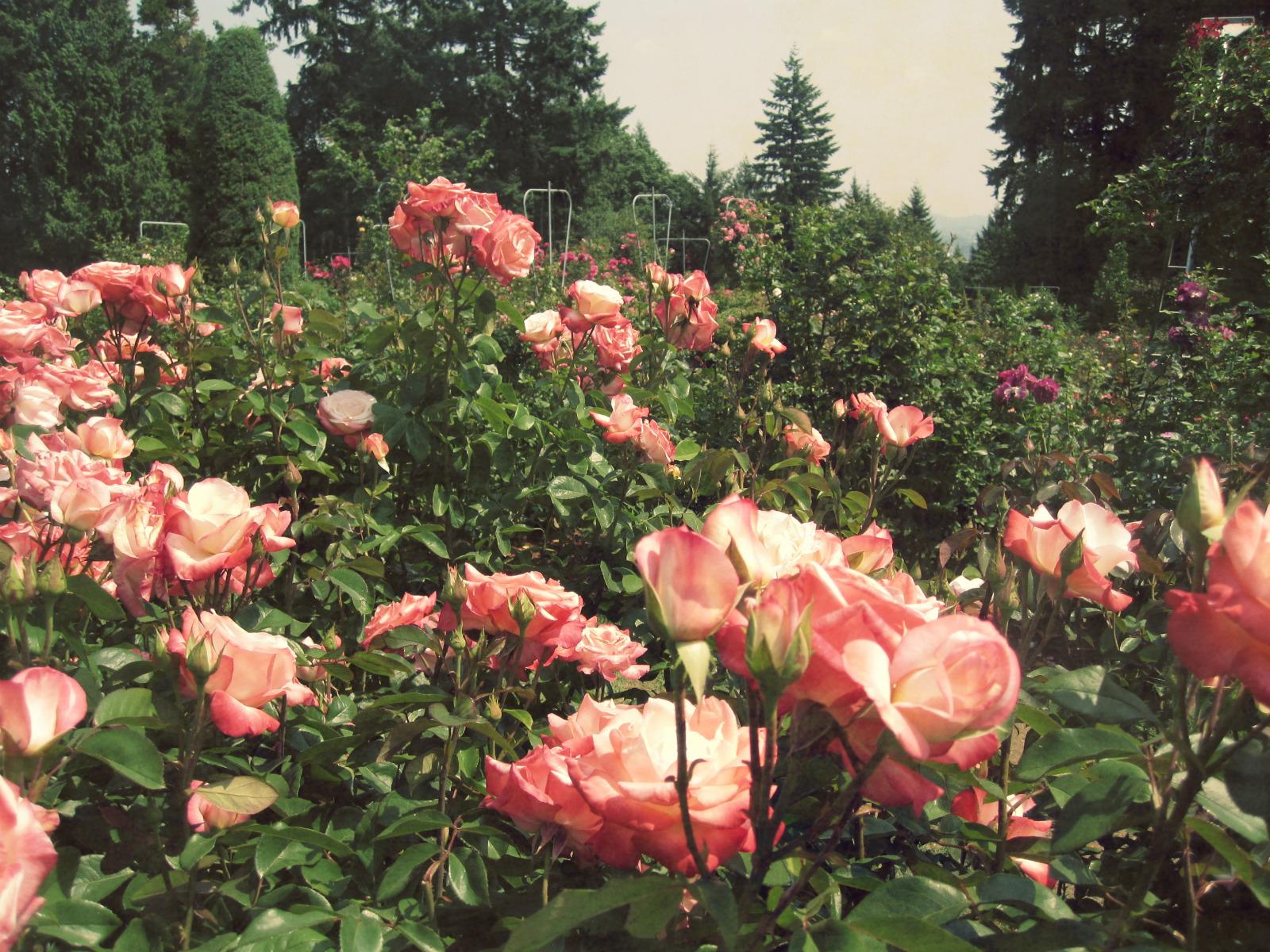 Rose garden - Pinke gardinen ...