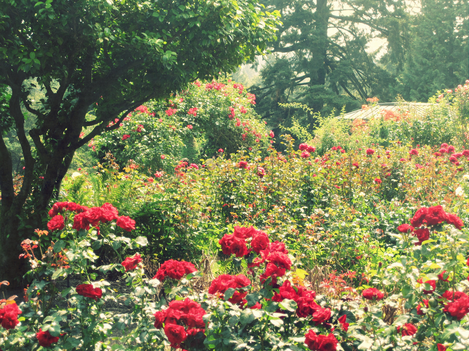 pictures of roses in a garden